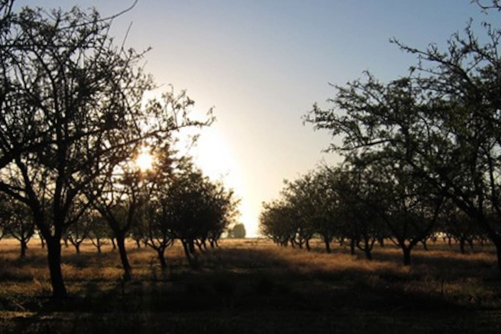 Our Almond Orchard