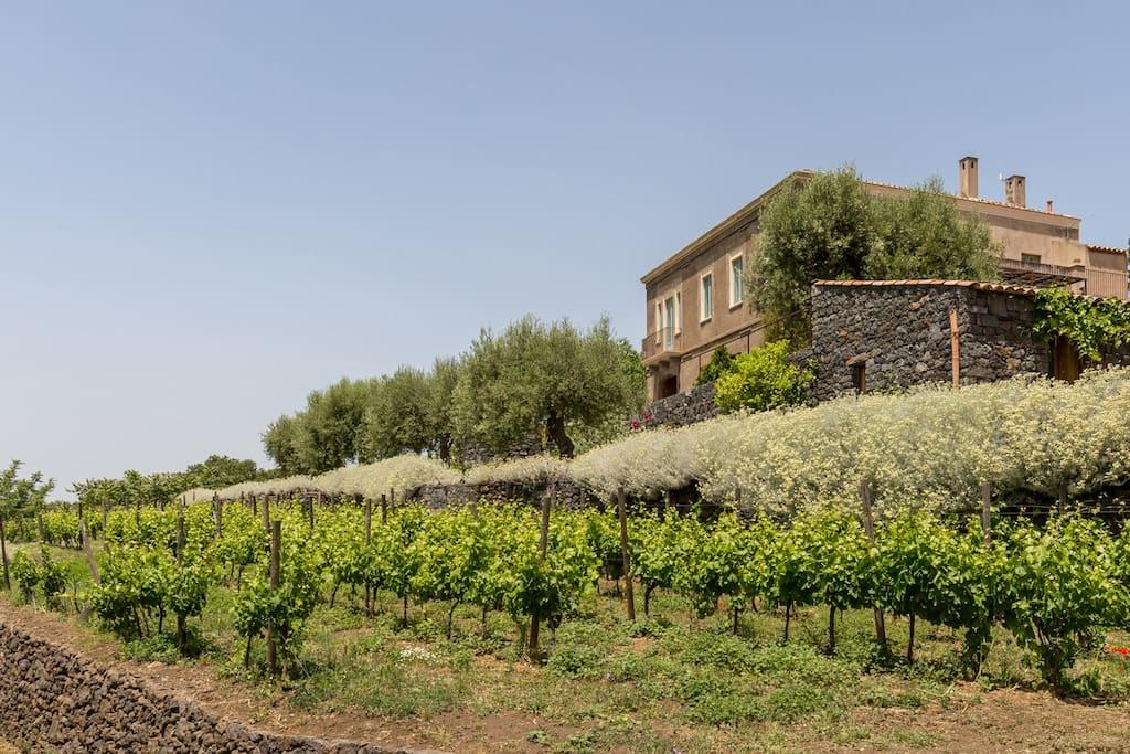 The organic vineyard