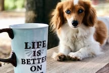 One of our dogs, Juicy. Blue-eyed, misbehaved wiener dog.  Drinking coffee with the alpacas, and of course, with Juicy!