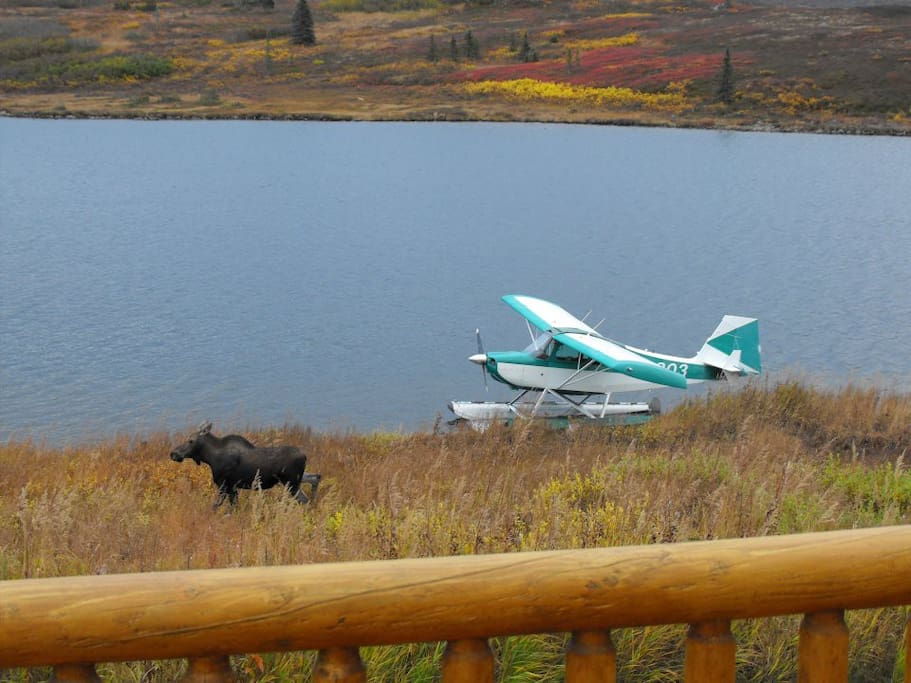 A young moose out in front of the lodge