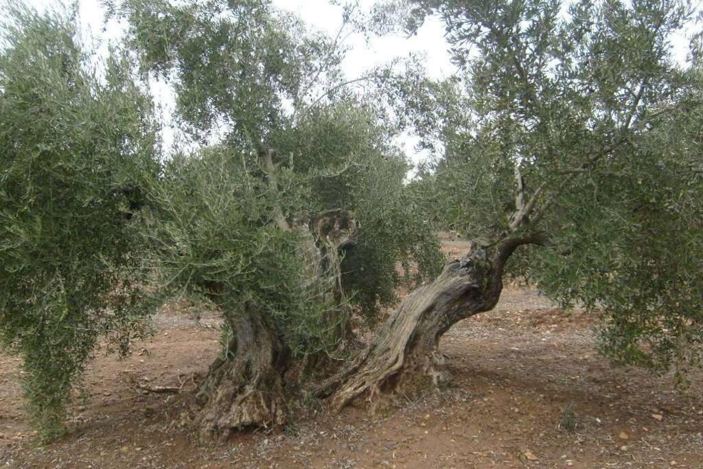 Nuestros olivos centenarios