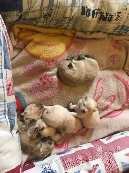 New puppy German Spitz 2018 Come to visit