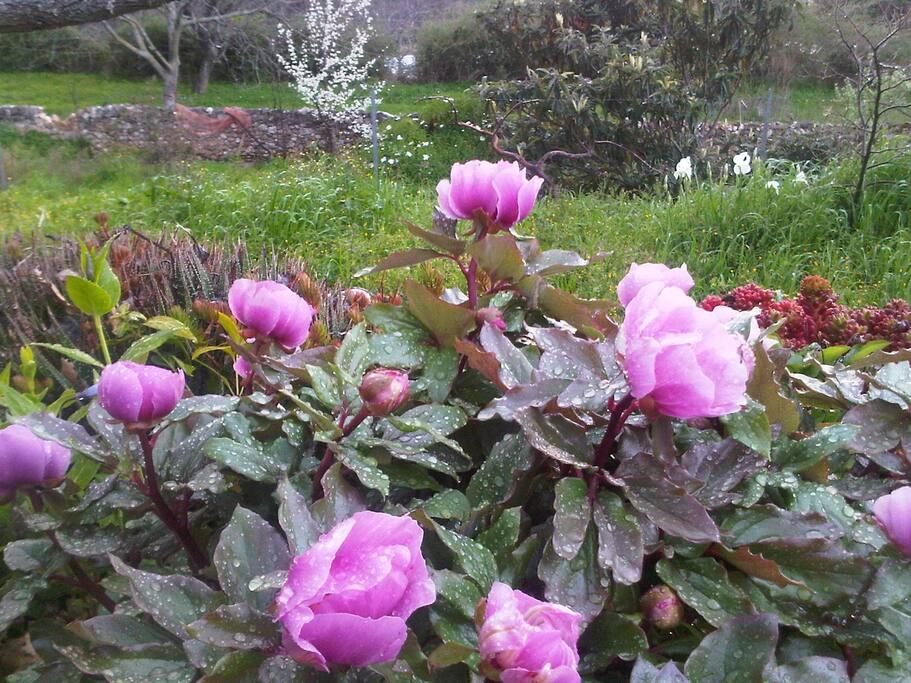 il giardino e le peonie