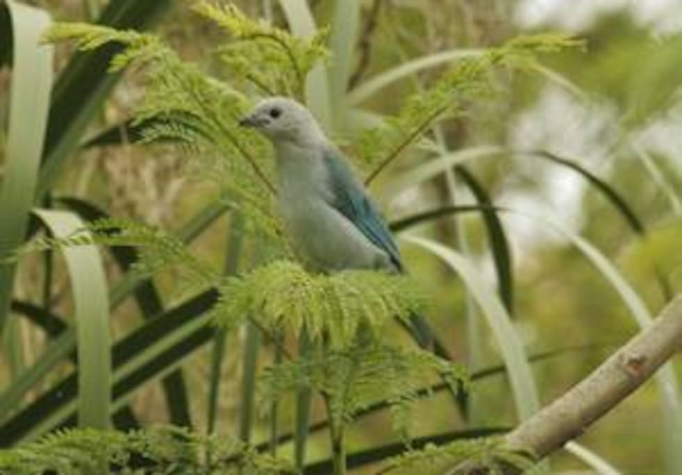 Blue-gray tanager - frequent visitor to the area