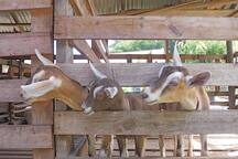 Grenada Goat Dairy Project at Belmont Estate