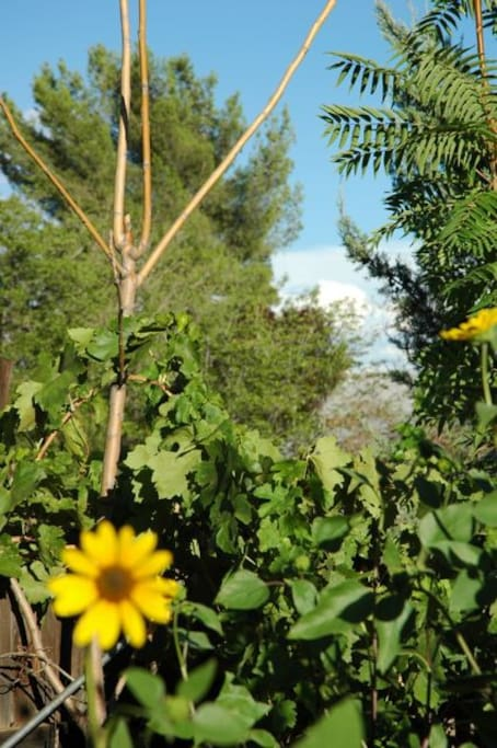 sunflowers & grapevines