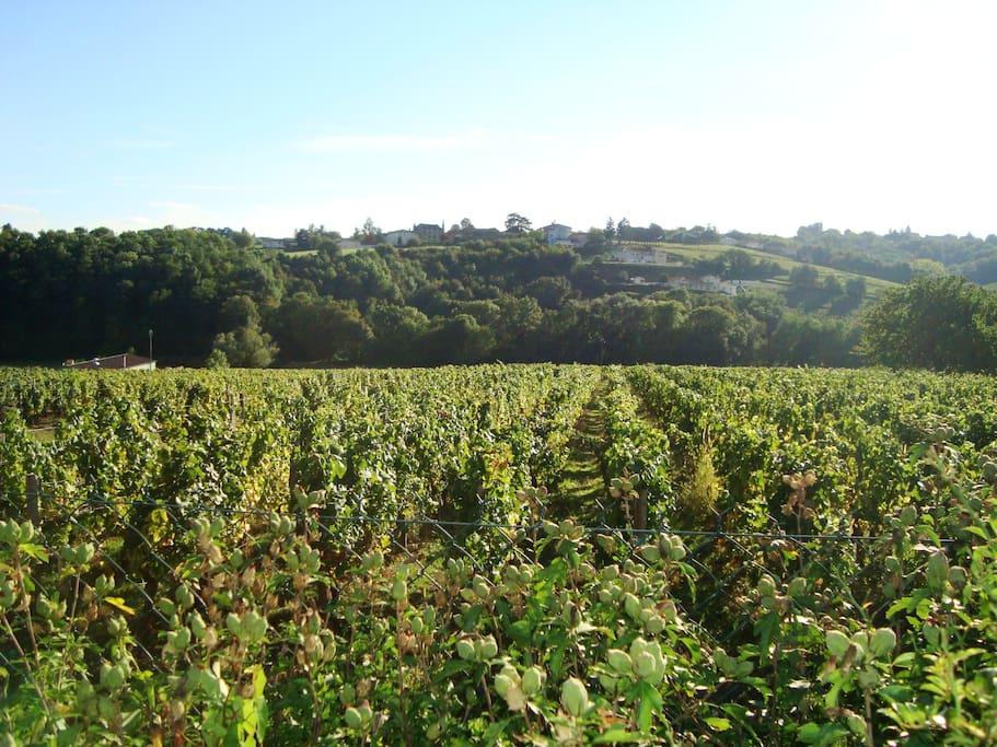 les vignes juste derrière la maison (vue de la chambre du haut)
