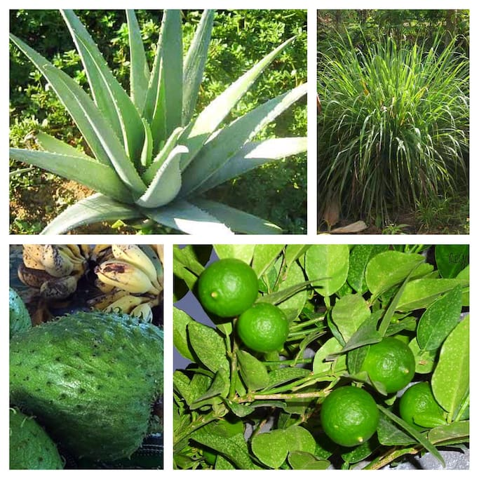 Also to find in our nice garden: Aloe Vera, Lemongrass, Lemon and Indian Apple - Enjoy!