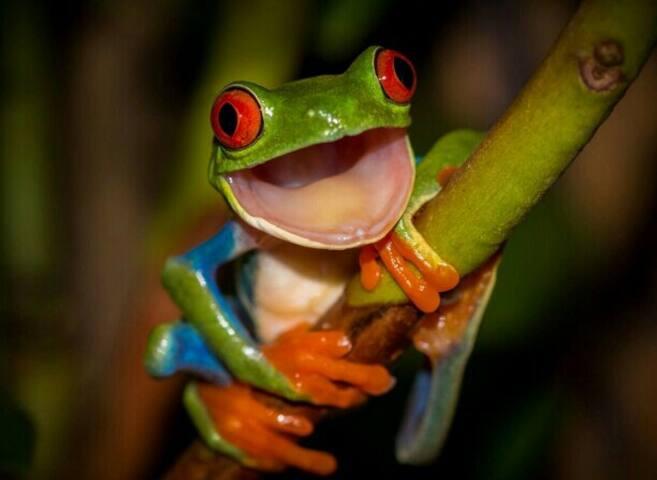 La rana de ojos rojos