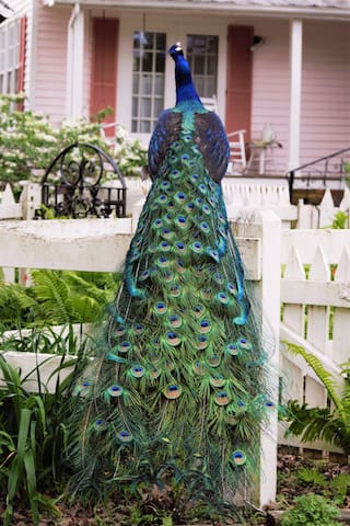 One of two peacocks patrolling the premises