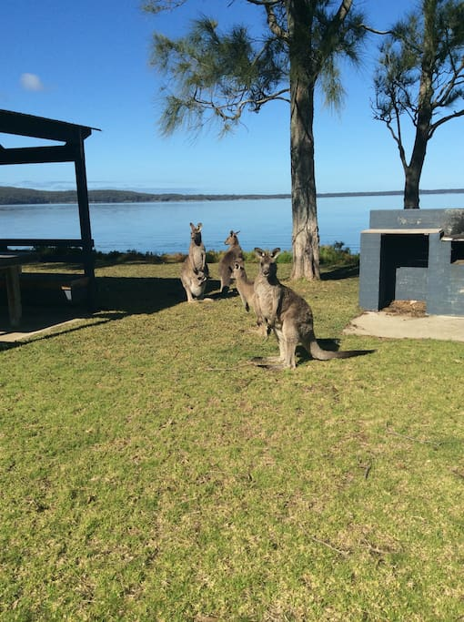 Local Kangaroos on the property