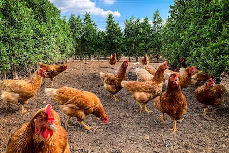 Barn Stay in a Hedge Maze free-range Chicken Farm