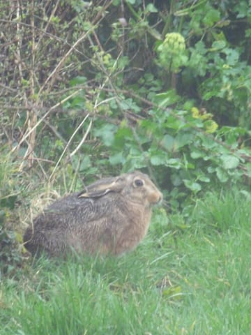 Young hare in our paddock