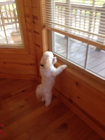 """""""Tuffy"""" our full time day and night watchman. Lol  Friendly Maltese."""