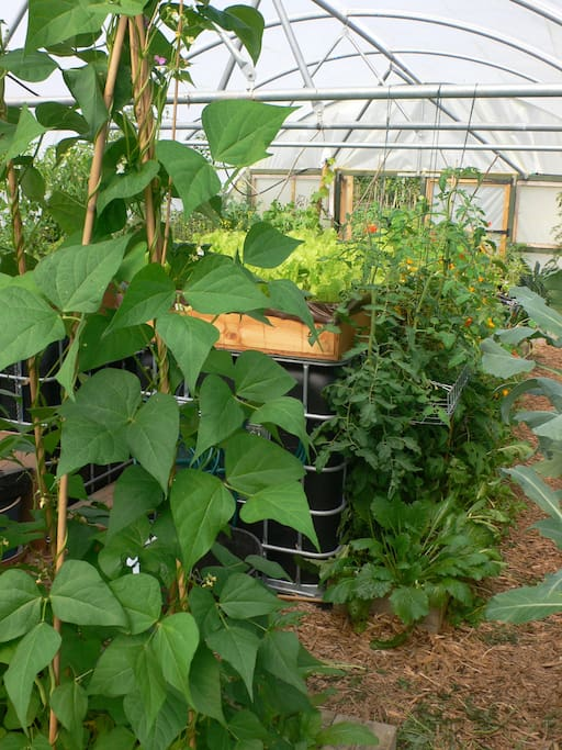 The veggie garden and poly tunnel were completed in  summer 2013 and are abundant!  Surplus produce has been sold this season at the local community shop :) This photo shows the poly tunnel in full swing in September 2014