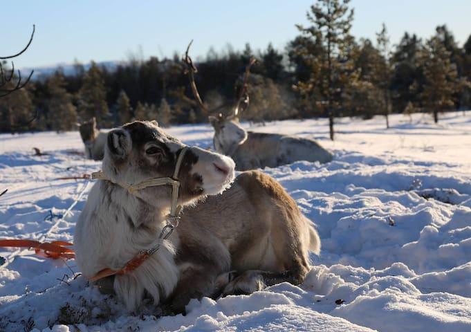 Stay like a modern reindeerherder