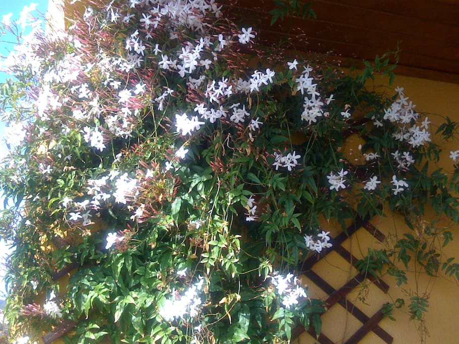 Jasmine smells wonderful at the right time of year