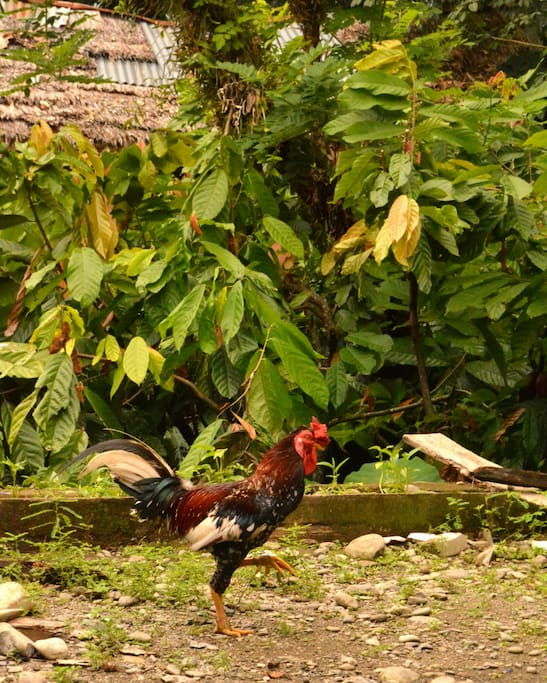 Chickens and cocoa plants