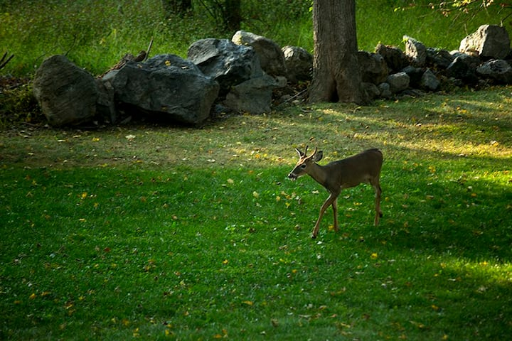 Just one of many deer that walk on by