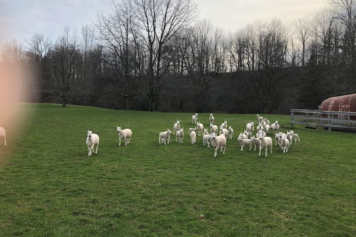 Lambs and mom's on pasture