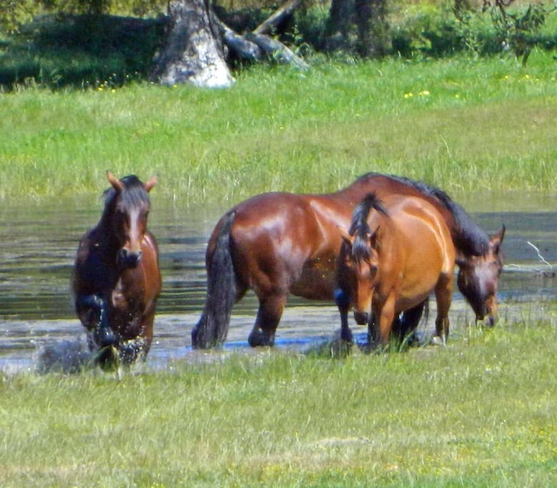 Horses playing in the water