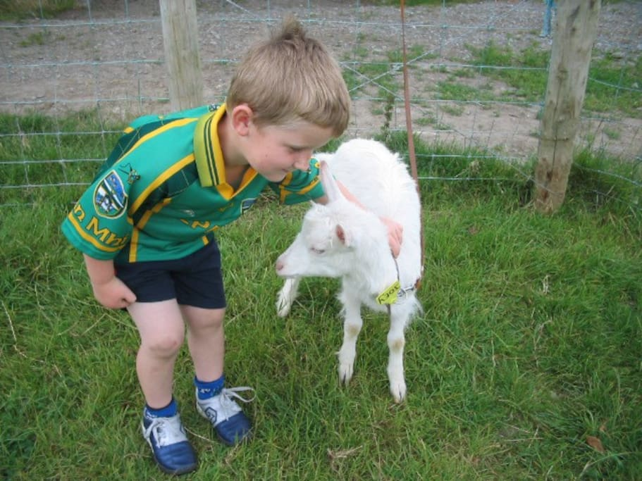 Kid goat on the farm