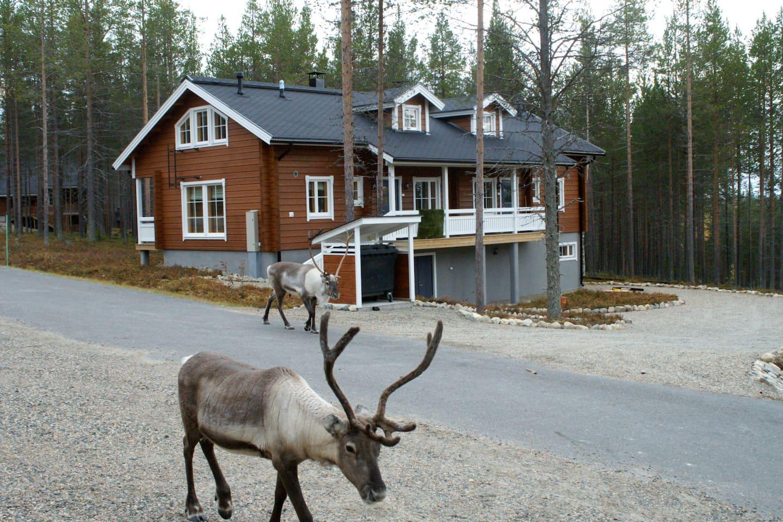 Reindeer live in Levi too (September)