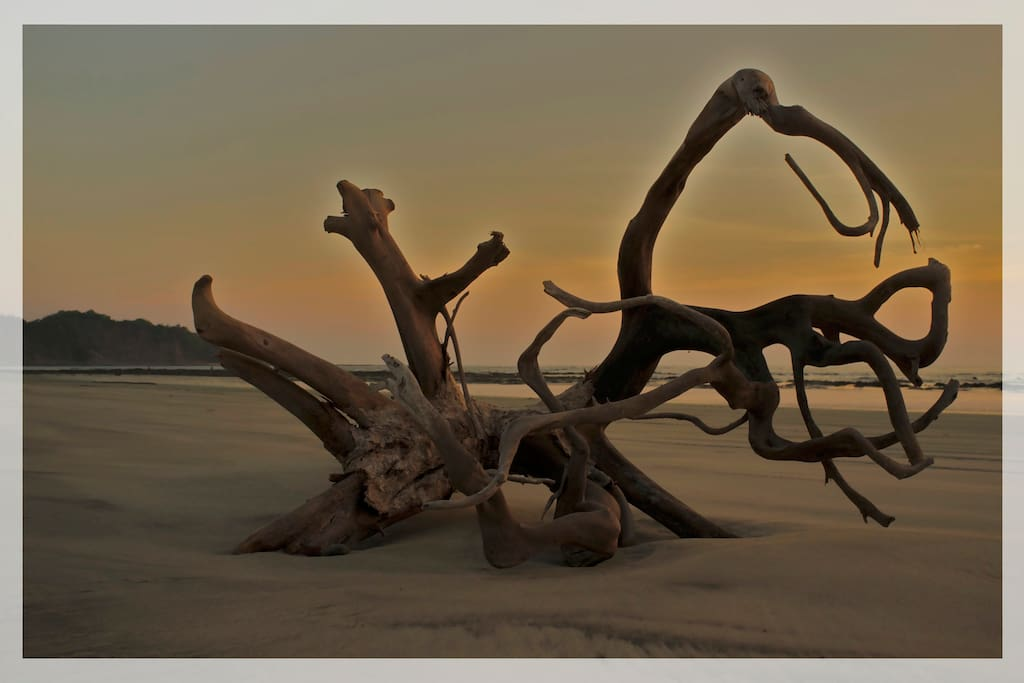 One of many pieces of driftwood youll see on guiones beach.