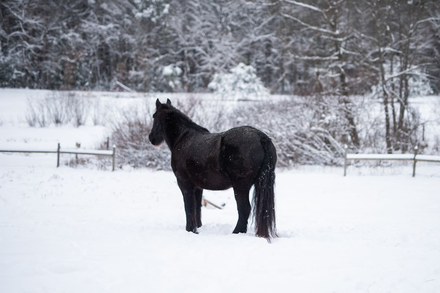 Jasper the draft horse surveying the pasture after a recent snow storm
