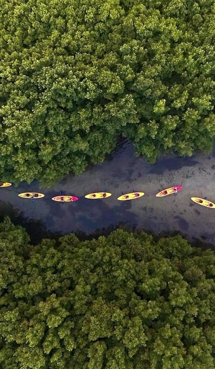 Paddling  through  Mangrove  Forest cana