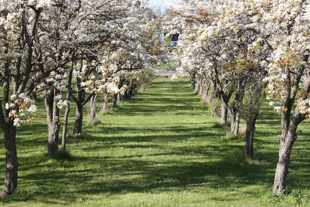 Pear orchard in spring
