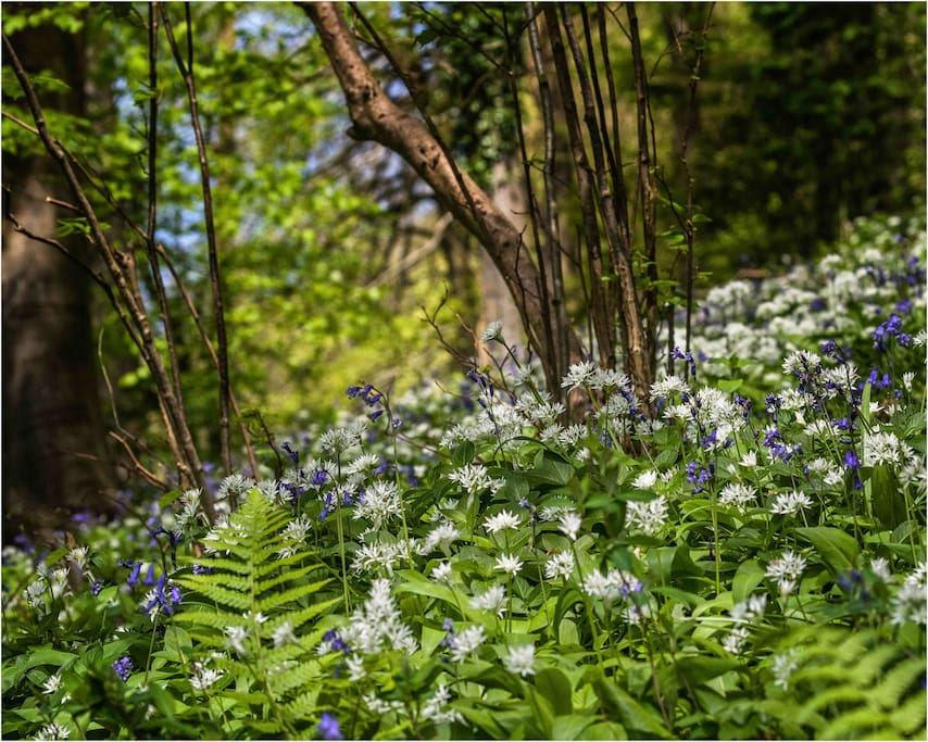 The ancient woodland that surrounds Peters Nest in May 2017.  Wild garlic and bluebells in abundance!
