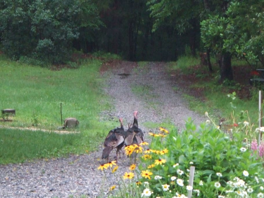 Turkey's visiting ..... we have deer, fox, hawks...