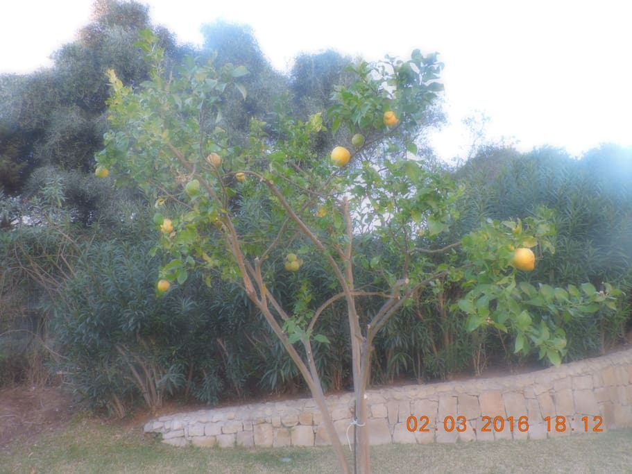 An Orange tree on the lawn outside the Apartment