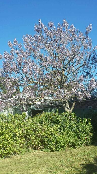 Magnificent Paulownia tree.