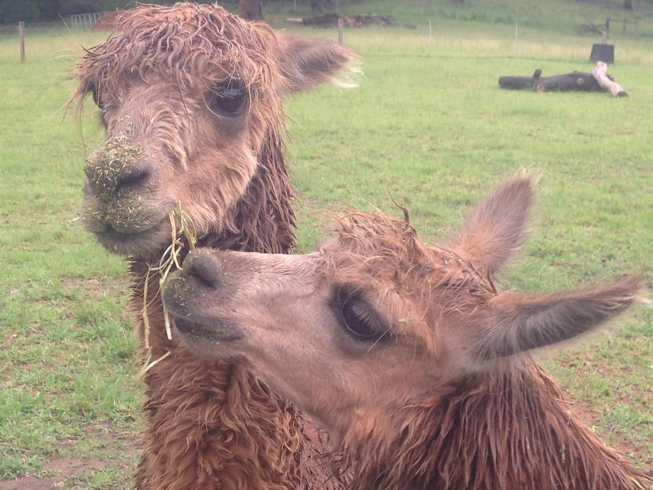 These are Hazel and Squeaky - our funny alpacas.