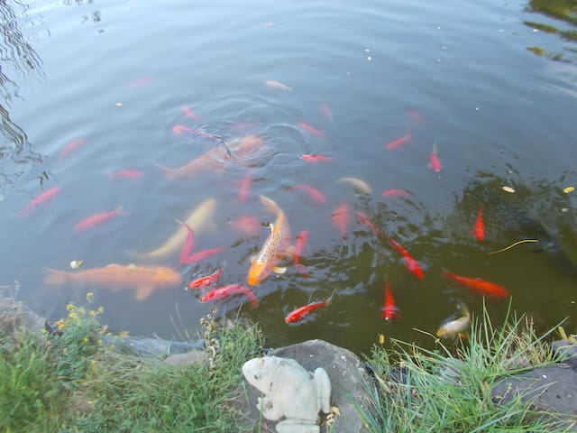 Large koi and comets