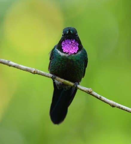 Gorgeted Sunangel at hummingbird feeders