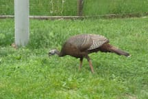 Wild turkey and chipmunk.