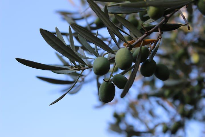 28 Olivenbäume
