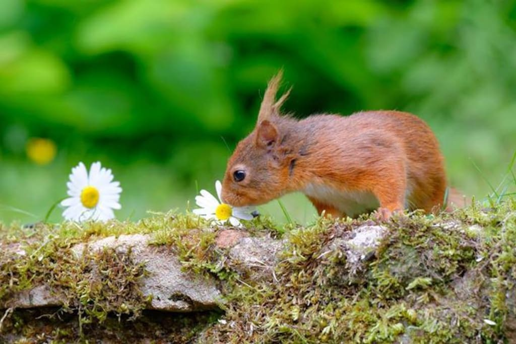 We have red squirrels who often visit the cottages for a snack.