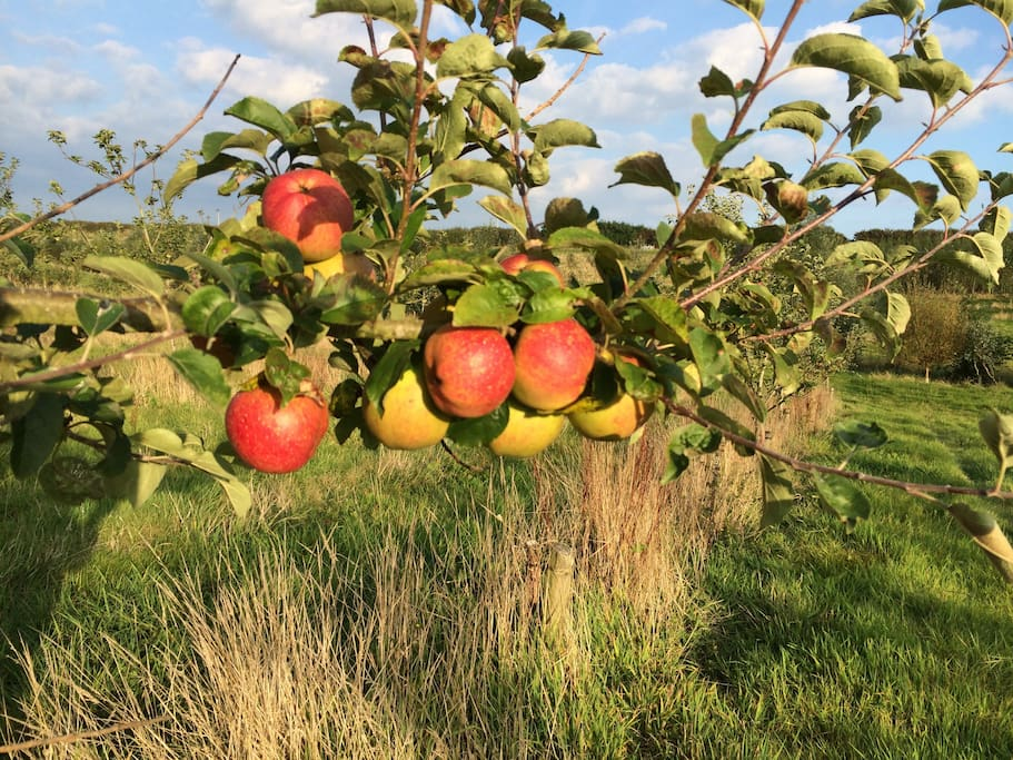 Just over the hedge in the Autumn - delicious Cornish Aromatic apples