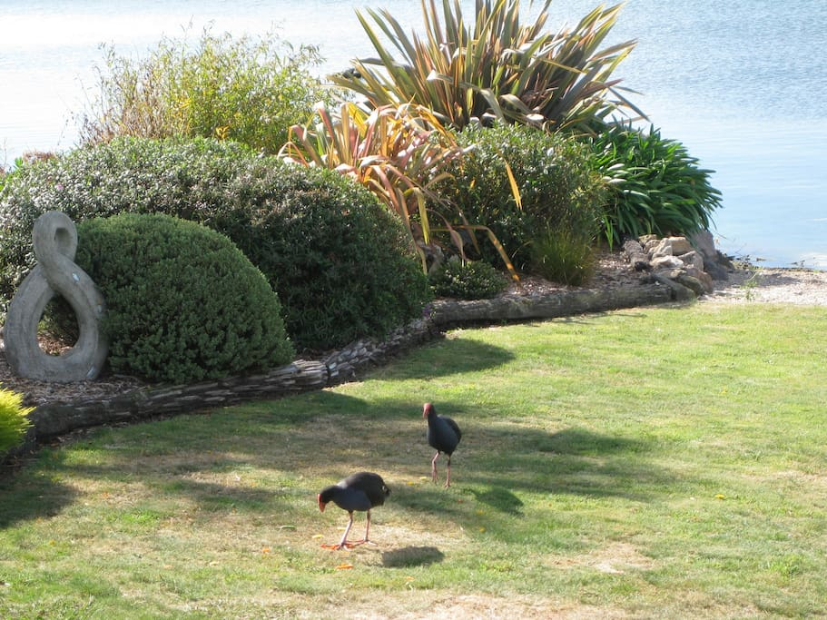 Native pukekos visiting the front lawn