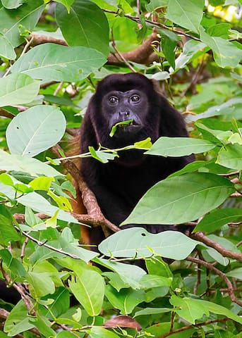 Howler Monkey at Isla Boca Brava. Just over 1 hour from Boquete on the Pacific coast.