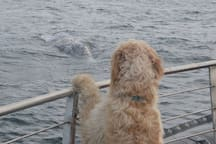 A gray whale comes close to say HI to Carrie's Fist Mate , Koda.