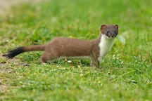 Stoat early morning visitor
