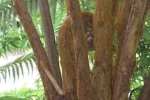 Hawaiian hapu`u fern unfurls new fronds at Shipman House Guest Cottage.