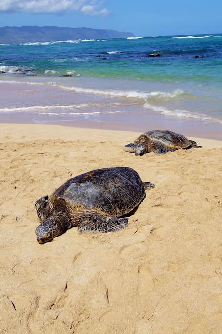 Honu are frequent visitors