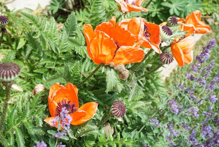 Poppy's grow right outside my door! Crested butte is the states Wildflower Capital of Colorado! Much to see here!