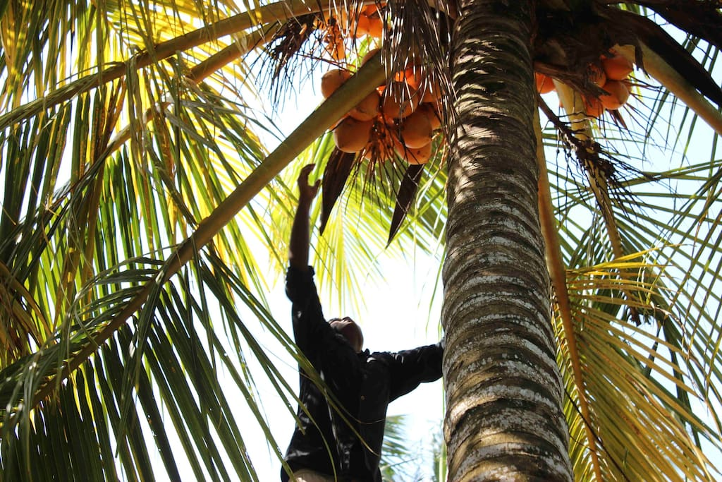 Prianthe picking King Coconut in our garden